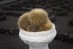 Cactus plant in a flowerpot. Exotic cactus plant in a flowerpot, black stony land in the background, Lanzarote, the Canary islands, Spain royalty free stock photo