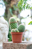 Cactus plant in flowerpot. In a garden Royalty Free Stock Image