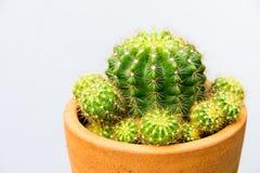 Cactus plant in flowerpot, horizontal shot. Isolated background Stock Photos