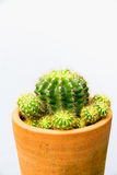 Cactus plant in flowerpot, vertical shot. Isolated background Stock Photos