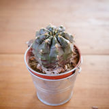 Cactus plant in flowerpot Royalty Free Stock Image