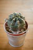 Cactus plant in flowerpot Stock Image
