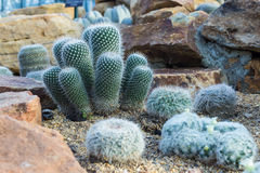 Cactus. Plant in the garden Royalty Free Stock Image