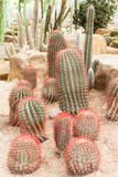 Cactus. Plant in the garden royalty free stock photography