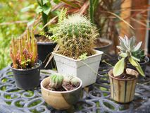 Cactus plant in garden royalty free stock photography