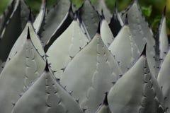 Cactus plant. Royalty Free Stock Photos