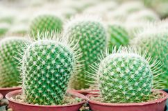 Selective focus close up on Golden barrel cactus. Echinocactus grusonii cluster. well known species of cactus, endemic to east-central Mexico widely cultivated royalty free stock photography