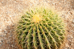 Cactus. Plant Green Spiked Danger Stock Photography