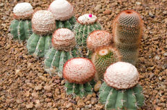 Cactus plant group Royalty Free Stock Image