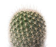Cactus plant isolated royalty free stock photography