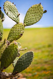 Cactus plant. Cactus like plant bathing in the sunlight, in a field of grass Stock Photo