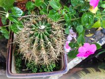 Cactus plant, lovely fresh green cactus Royalty Free Stock Images