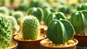 Cactus plant nurseries Royalty Free Stock Photography