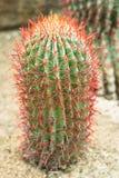 Cactus plant Stock Photo