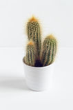 Cactus plant in a pot isolated on white background Stock Images