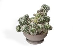 Cactus plant in a pot on a white background Royalty Free Stock Photo