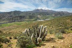 Cactus plant. With Putre village and Nevado de Putre at background, Chile Royalty Free Stock Images