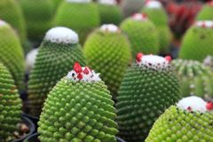 Healthy green miniature cactus plant with red flower on the top inside the exotic greenhouse royalty free stock photos