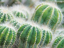 Cactus Plant. Shallow depth of field Stock Photo