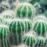 Cactus Plant. Shallow depth of field Royalty Free Stock Photos
