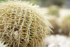 Cactus, Plant, Thorns Spines And Prickles, Flowering Plant Royalty Free Stock Image