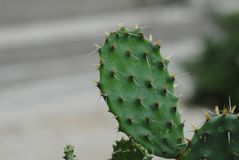 Cactus, Plant, Thorns Spines And Prickles, Nopal Stock Photography