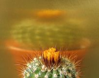 Cactus, in bud, gold background, large reflection. Stock Images