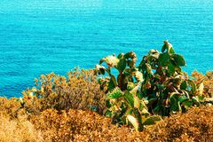 Cactus plant in Villasimius Mediterranean Sea in Sardinia Island Italy. Cactus plant in Villasimius and the Bay of the Blue Waters of the Mediterranean Sea in royalty free stock images