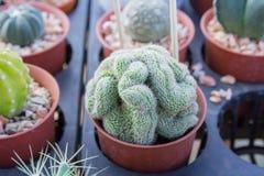 Cactus plantado en potes - efecto del color Foto de archivo libre de regalías