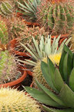 Cactus plantation Royalty Free Stock Image