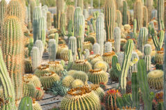 Cactus plantation Royalty Free Stock Photography