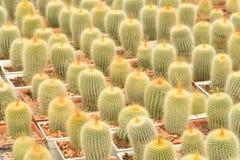 Cactus plantation in nursery Royalty Free Stock Photos
