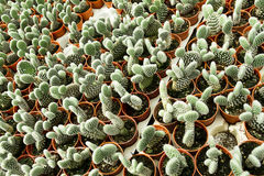 Cactus plantation Stock Photography