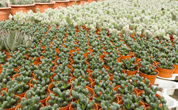 Cactus plantation Royalty Free Stock Photos