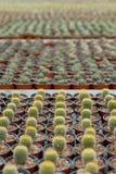 Cactus plantation. Royalty Free Stock Photo