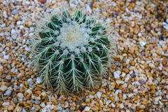 Cactus planted in an arid botanical garden Royalty Free Stock Photo