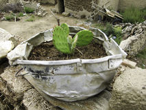 Cactus planted in recycled broken pot Stock Image