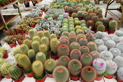 Cactus Plants. Image of Small Cactus Plants at Farm royalty free stock photography