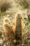 Cactus plants Stock Photos