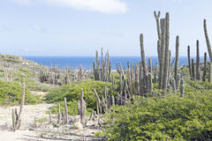 Cactus plants on Aruba island Stock Images