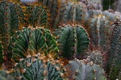 Cactus plants or Astrophytum asterias is a species of cactus plant in the genus Astrophytum at cactus farm. Nature Green Cactus. Pot. Cactus patterns. Cactus stock photos