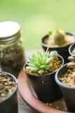 Cactus plants in black pot home garden Stock Photo