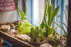 Cactus Plants On Brown Pot Royalty Free Stock Photography