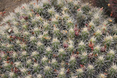 Cactus Plants royalty free stock images