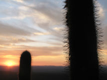 Cactus plants in the countryside at sunset. Brazil Stock Photography