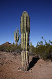 Cactus plants in desert, Arizona Stock Photo
