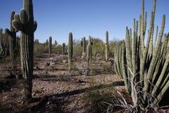 Cactus plants in desert, Arizona. USA. Mostly saguaro cactus Royalty Free Stock Photo
