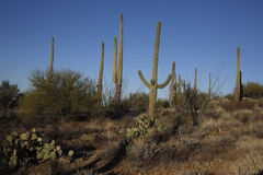 Cactus plants in desert, Arizona Stock Image