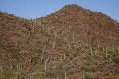 Cactus plants in desert, Arizona Stock Image