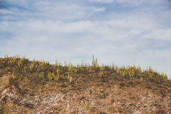 Cactus plants in desert landscape. Photograph of some cactus plants in desert landscape Stock Images